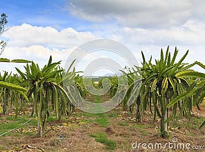 The Dragon fruit garden ,Thailand