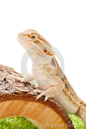 Free Dragon Pet Stock Photo - 25967430