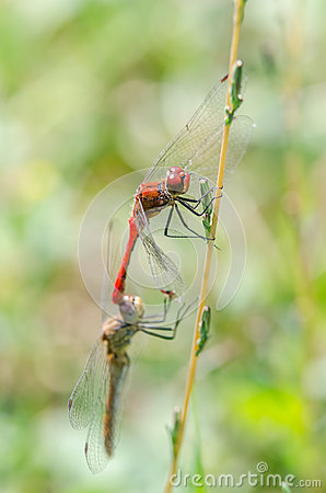 Free Dragonflies Mating Stock Images - 33567774