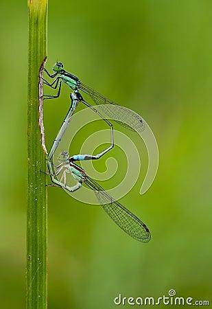 Free Dragonflies Mating Stock Photos - 52534583
