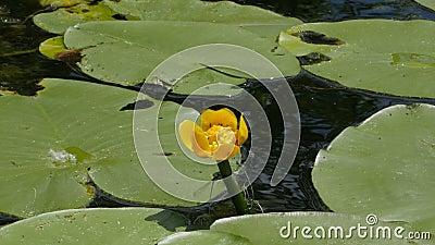 Dragonflies matuje i lata wokoło grążela Veliki Backi, Sombor, Serbia zdjęcie wideo