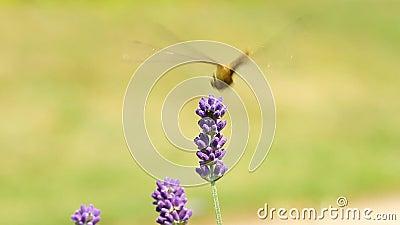 Dragonfly на лаванде