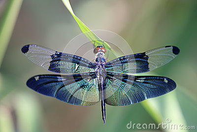 Dragonfly с красивым крылом