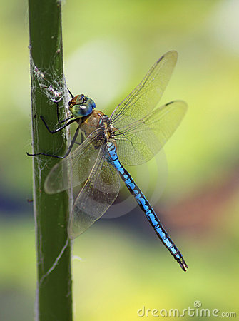 Free Dragonfly Stock Photography - 15575332