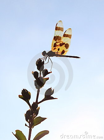 Free Dragonfly Royalty Free Stock Image - 20536436