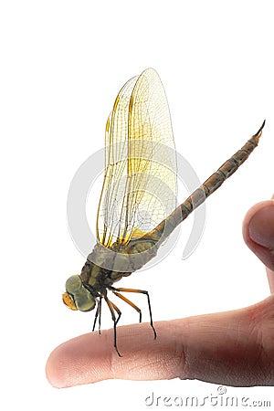 Free Dragonfly Royalty Free Stock Photos - 25673038
