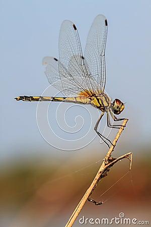 Free Dragonfly Stock Photos - 49103003