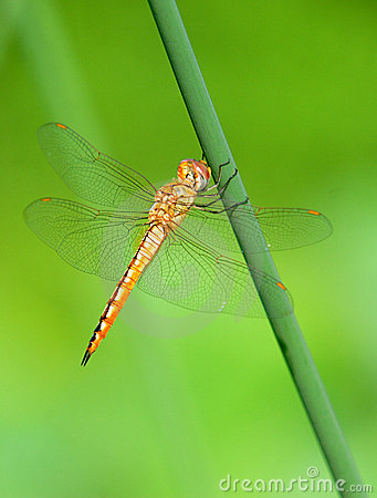 Free Dragonfly Royalty Free Stock Photos - 5659928