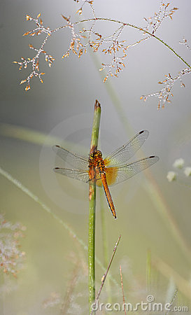 Free Dragonfly Stock Images - 5901684