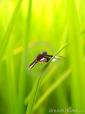 Free Dragonfly 9 Stock Photo - 1067320