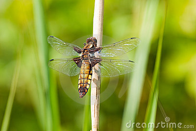 Dragonfly - Broad bodied chaser