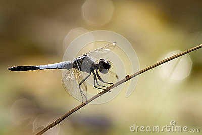 Dragonfly In Brown Royalty Free Stock Photos - Image: 25541638