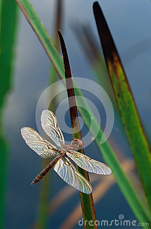 Dragonfly on Cattail Leaves