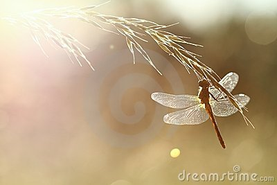 Dragonfly in contrejour lighting