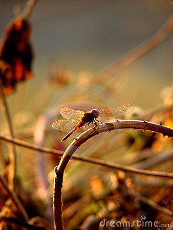 Free Dragonfly Curves Royalty Free Stock Image - 1715766
