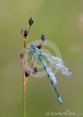 Dragonfly dew-sprinkled (Coenagrion puella)