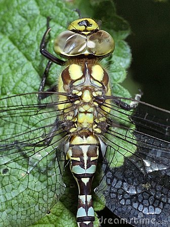 Dragonfly faces