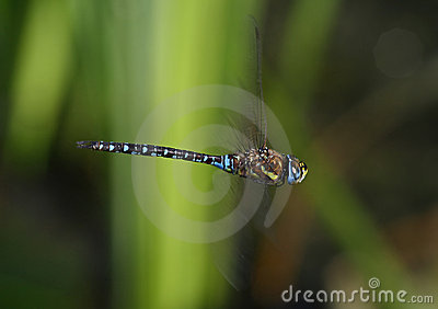 Dragonfly in flight - Migrant hawker