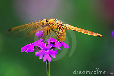 Dragonfly on the flower