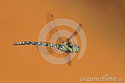 Dragonfly flying