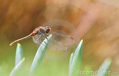Dragonfly on green and brown