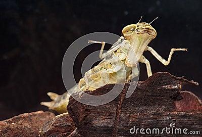Dragonfly insekta larwy drapieżnika dopłynięcie