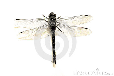 Dragonfly isolated macro sepia