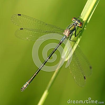 Dragonfly Lestes viridis
