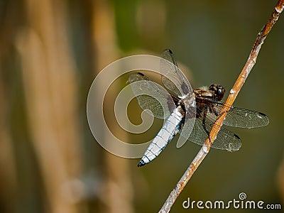 Dragonfly Libellula Depressa