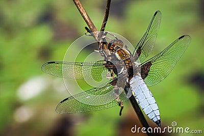 Dragonfly(Libellula depressa)