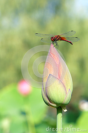 Dragonfly and lotus bud