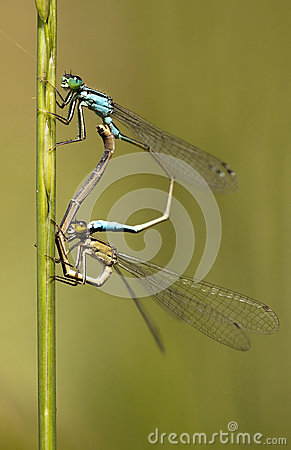 Free Dragonfly Love Stock Photography - 24806782