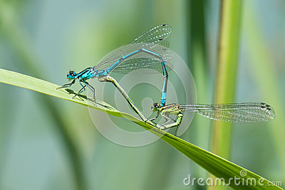 Dragonfly in love