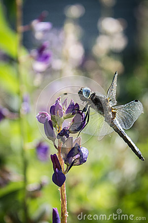 Dragonfly on lupin