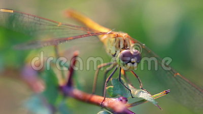 Dragonfly Macro. Macro video shoot of a dragonfly stock video footage