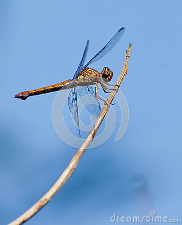 Free Dragonfly On A Stick Royalty Free Stock Photography - 25970777