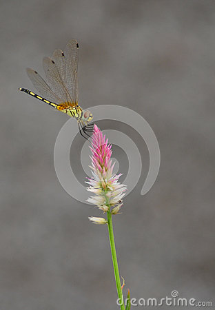 Free Dragonfly On Flower Stock Images - 36694494