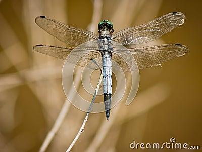 Dragonfly Orthetrum Cancellatum