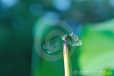 Dragonfly Perched on Lotus Stalk