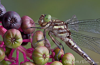 Dragonfly on pokeweed