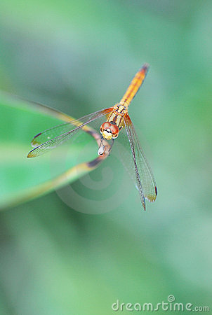 Free Dragonfly Potrait Royalty Free Stock Image - 13656296