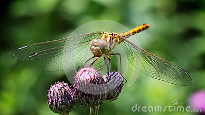 Dragonfly On Purple Flower Free Public Domain Cc0 Image