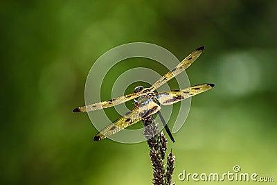 Dragonfly (Rhyothemis variegata)