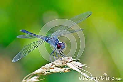 Dragonfly Seaside Dragonlet