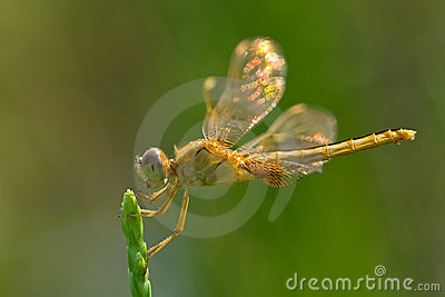 Dragonfly with shinning wings