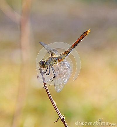 Dragonfly sits on a branch