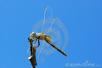 Dragonfly on a thicket