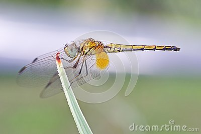 Dragonfly on the tip of the plant