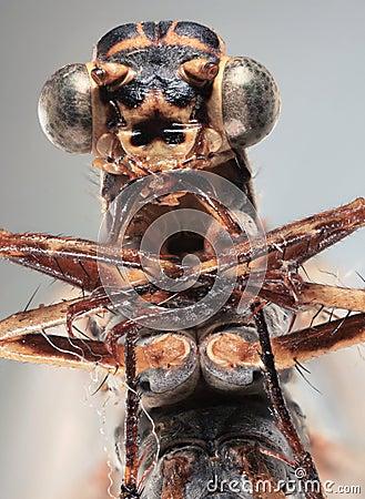 Dragonfly Ultra Macro