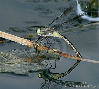 Dragonfly on the water 2
